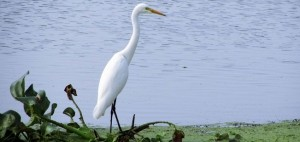 Kolleru Bird Sanctuary- Bird,Top Bird Sanctuary , India